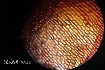Microsope shoot of Alium cepa (onion)